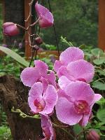 Nationalpflanze Costa Ricas
