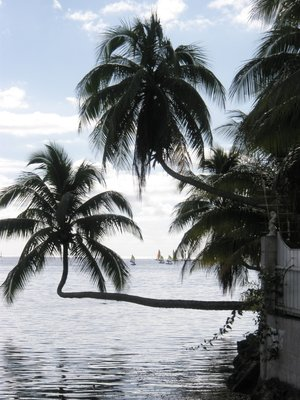 Palms at Opunohu Bay, Mo'orea