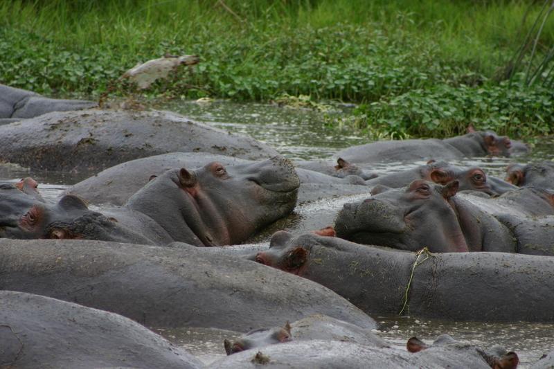 IMG_1495_Tanzania_Ngorongoro_Hippos cuddling