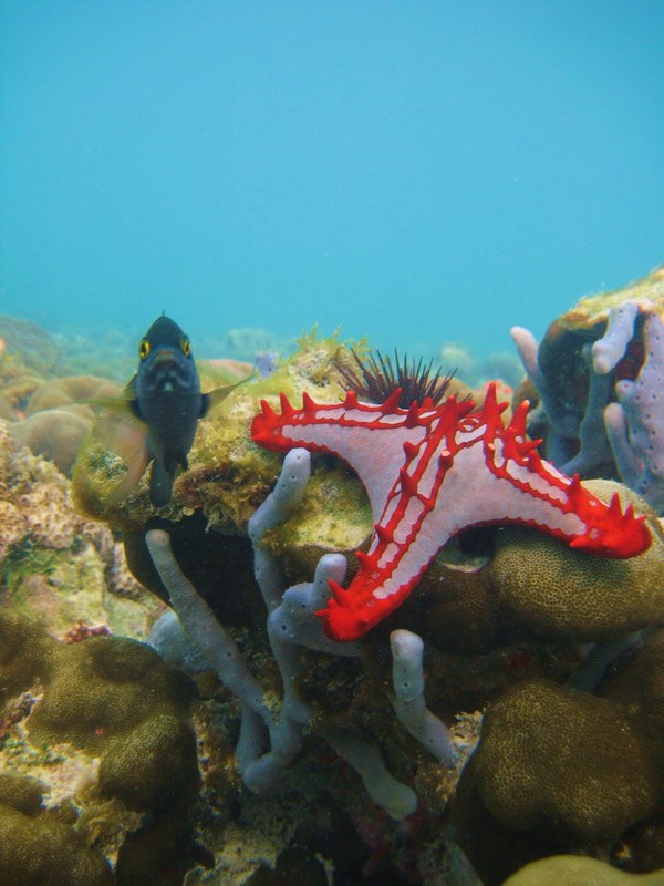 IMG_6864_Tanzania_Zanzibar_fish defending starfish