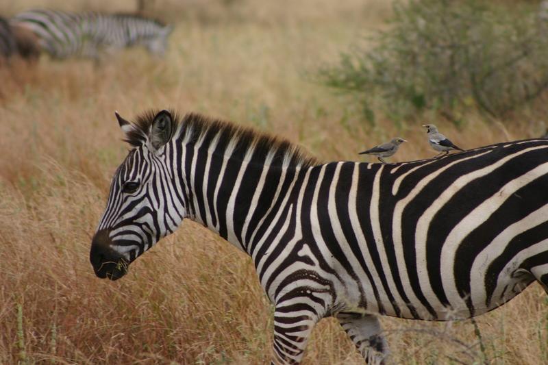 IMG_7657_Tanzania_Tarangire_Zebra with birds
