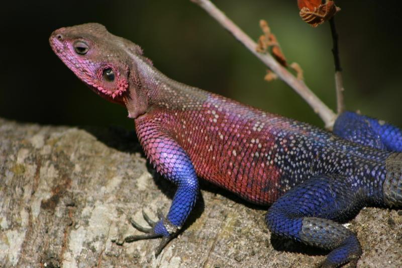 IMG_9691_Tanzania_Serengeti_Colorful lizard