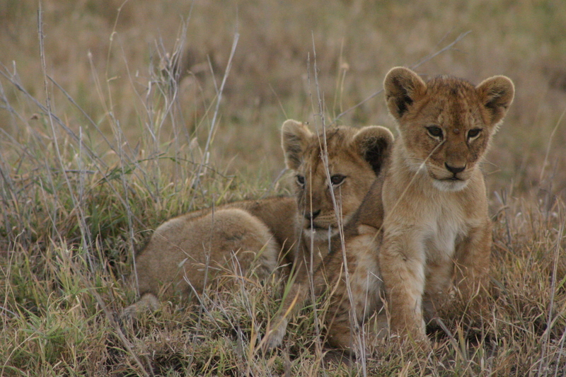 IMG_9795_Tanzania_Serengeti_lion cubs