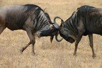 IMG_1433_Tanzania_Ngorongoro_wildebeest fighting