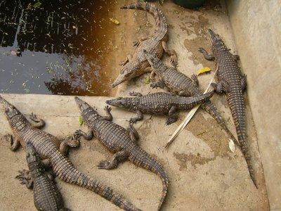 St Lucas Crocodile Farm