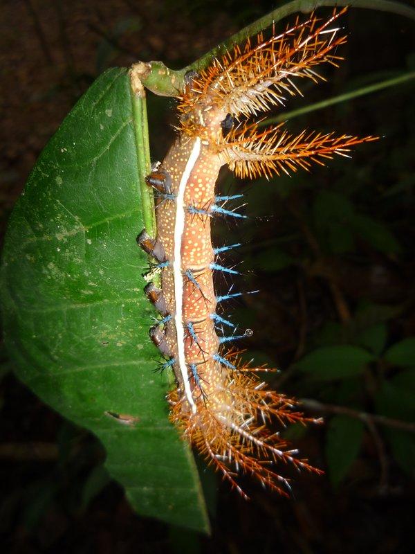 Amazonas Catapillar