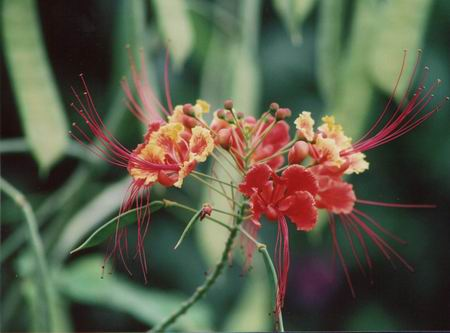 Flowers of Senegal