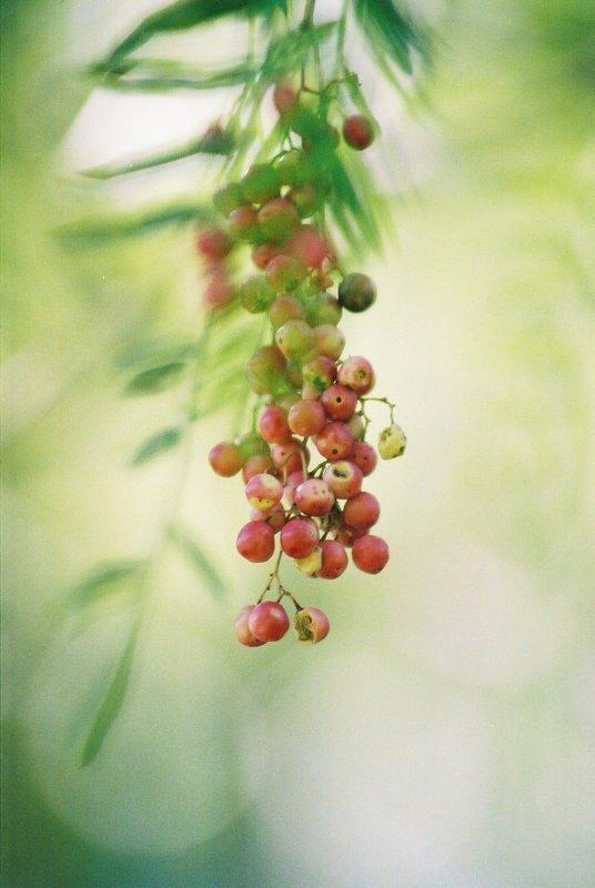 Grapes in Mendoza 2007