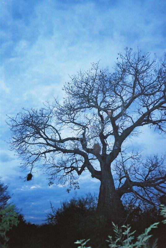 Tree in Filadelfia, Paraguay