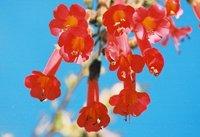 Flowers_of_Peru1.jpg