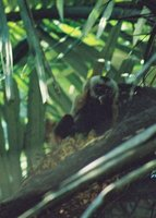 Monkey_in_..Bolivia.jpg