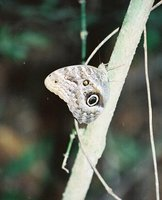 Owl_Butter..Bolivia.jpg