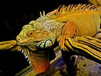 Magnificent Orange Lizard
