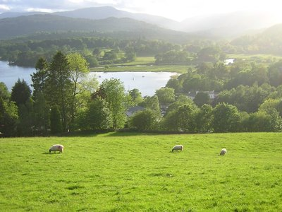 Sheep in the Lake district