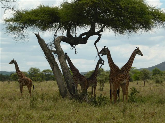 Tanzania - Giraffes under tree - Serengeti