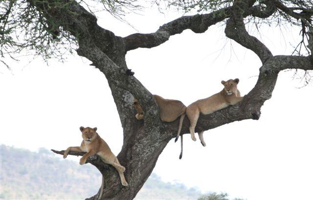 Tanzania - Lions in Tree - Serengeti
