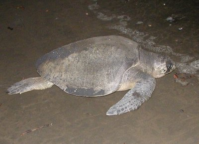 olive_ridley_turtle.jpg
