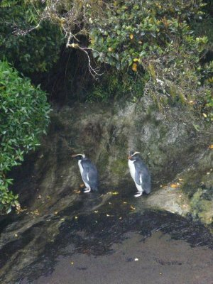 Doubtfull Sound - a couple of yellow eyed Penguins