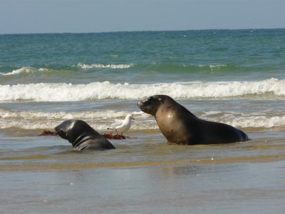 Nugget Point - Female Sea Lions on beach 2