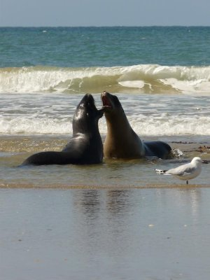 Nugget Point - Female Sea Lions on beach
