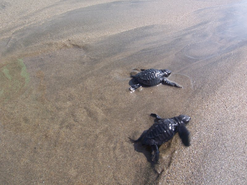 baby turtles being released