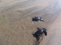 baby turtles being released