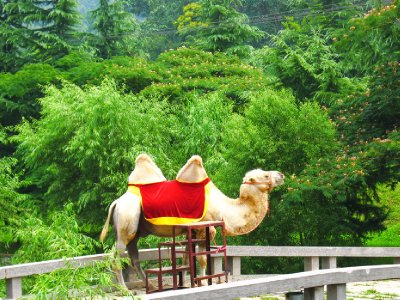 For a price ride theCamel