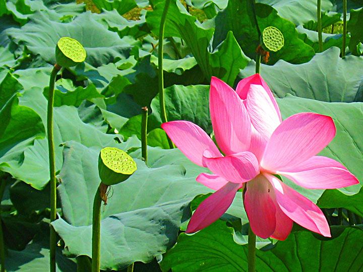 WEL Lotus Flower 2