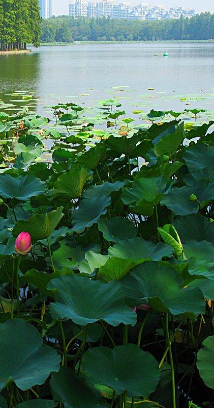 WEL Lotus Flower 7