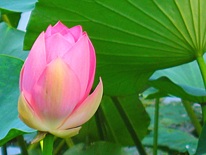 WEL Lotus Flower 8