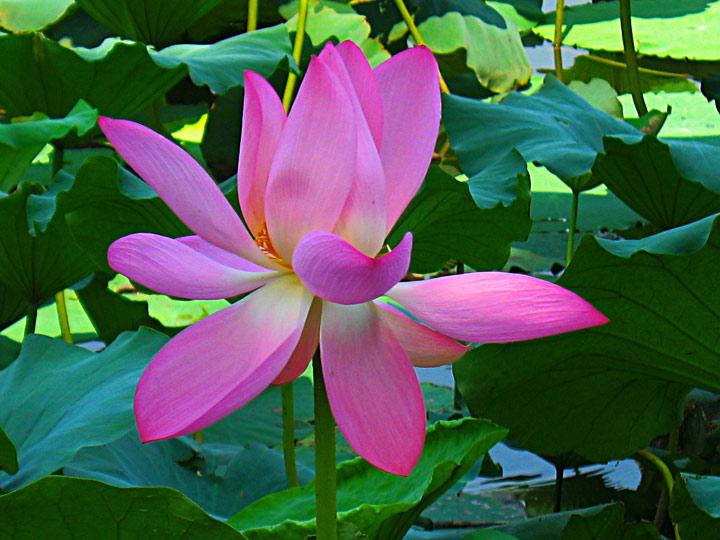 WEL Lotus Flower 3