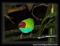 Bay headed tanager