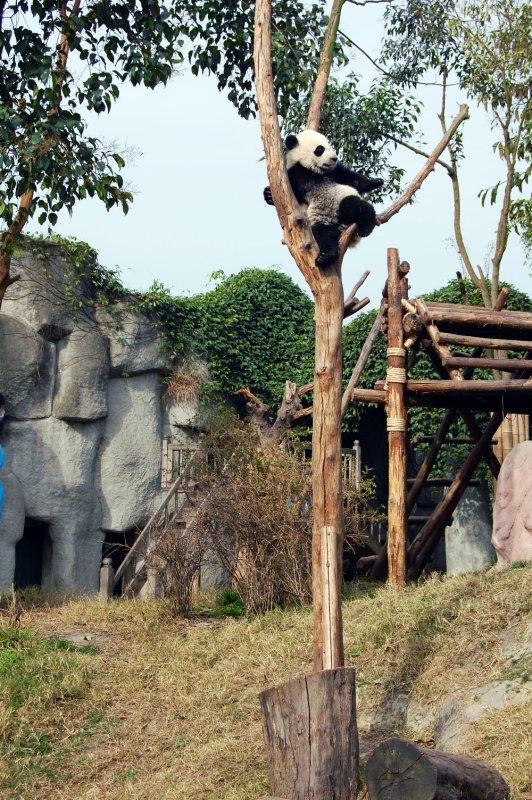 Panda Cub Up a Tree