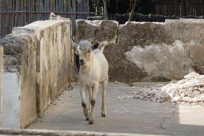 Goat_on_veranda.jpg