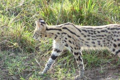 Kenya_Serval.jpg