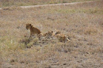TZ_Heap_of_lion_cubs.jpg