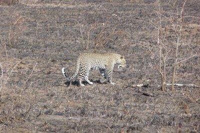 TZ_Leopard.jpg