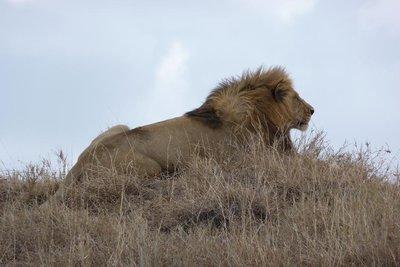 TZ_Lion_looking_good.jpg
