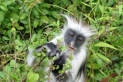 Zanzibar_-_Monkey.jpg