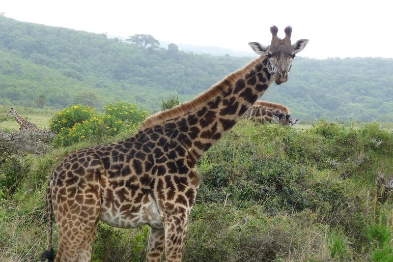 TZ Hello Giraffe