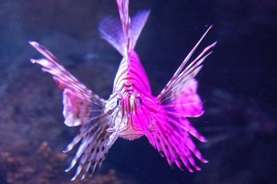 5small57_Lion_Fish.jpg