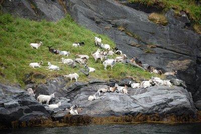7small79_F..7_Goats.jpg