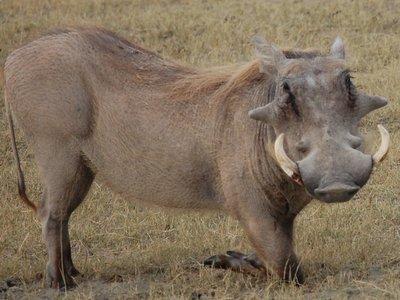 Africa_Sma..Warthog.jpg