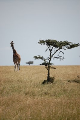 Africa_Sma.._acacia.jpg