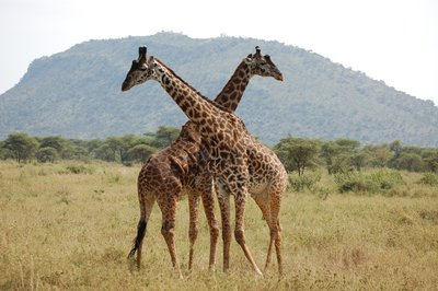 Africa_Sma..iraffes.jpg
