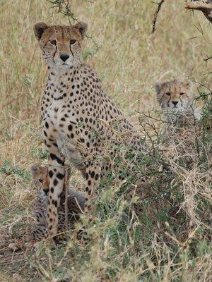 Africa_Sma..nd_cubs.jpg