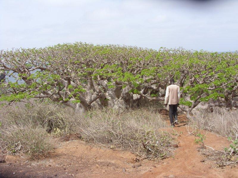 Giant Baobob