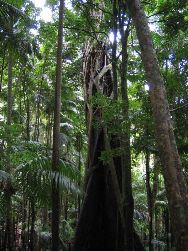 Rainforest in Mt Warning Australia