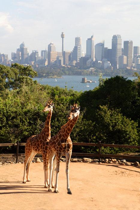 Giraffes in Sydney