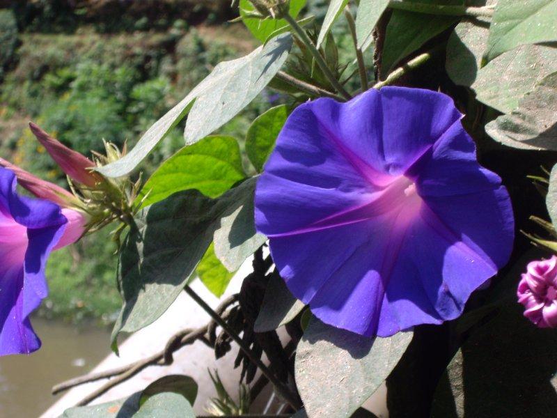 Morning Glories in Munnar